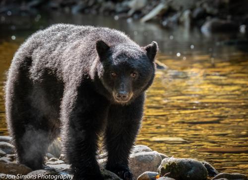 Black bear, BC
