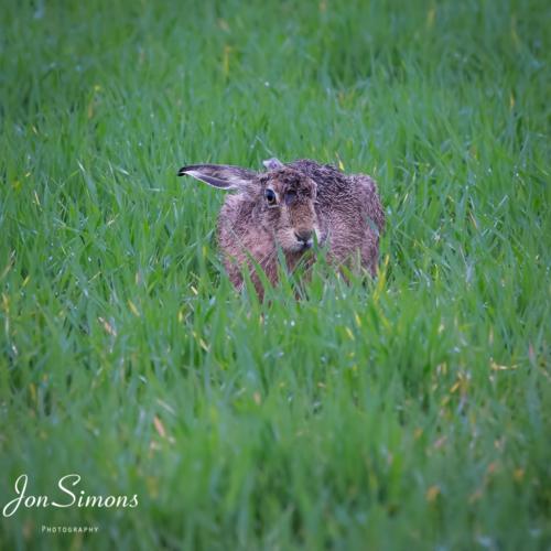 Brown hare, Kilmartin