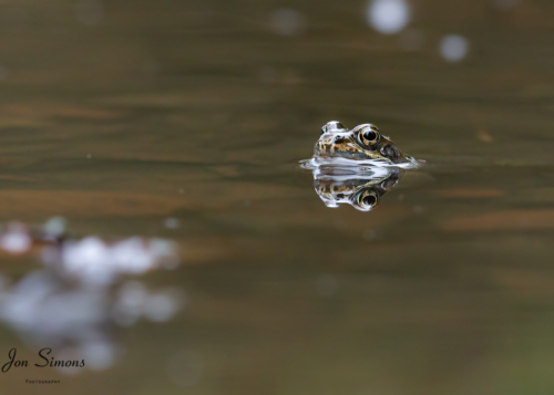 Reflection common frog in pond