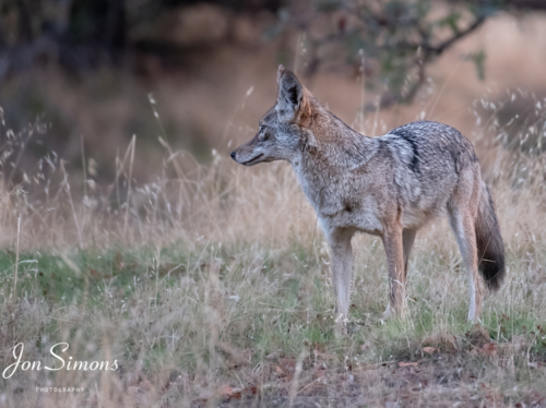 Coyote intent on finding food