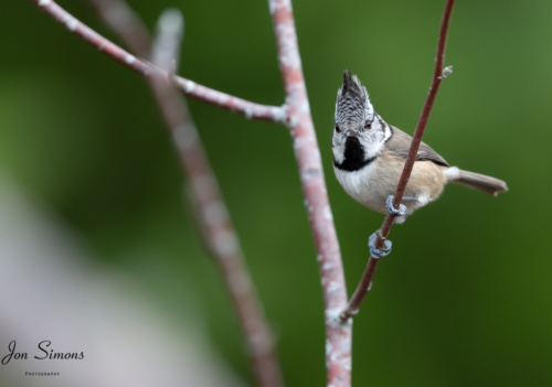 Crested tit on branch Scotland