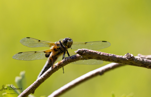 Four-spotted chaser on perch