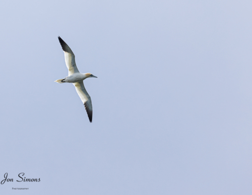 Gannet in flight, Scotland