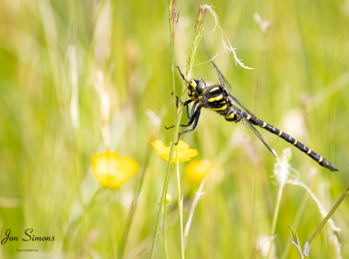 Golden-ringed dragonfly perched