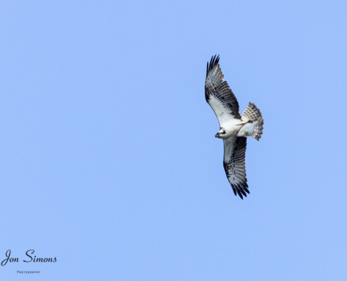 Osprey flying with fish in talons