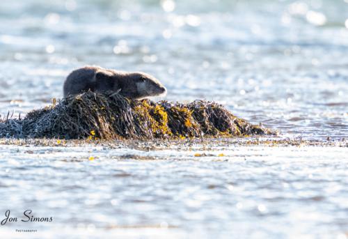 Otter, Argyll, Scotland