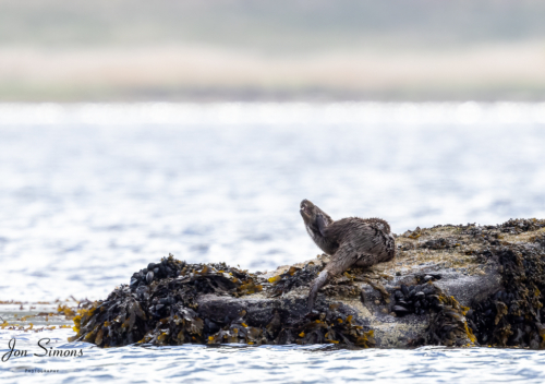 Otter relaxing on the rocks, Scotland