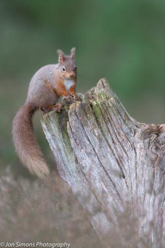 Red squirrel on stump, Scotland