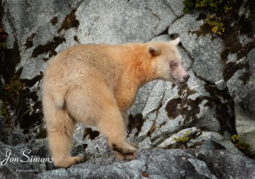 Spirit or Kermode bear, BC