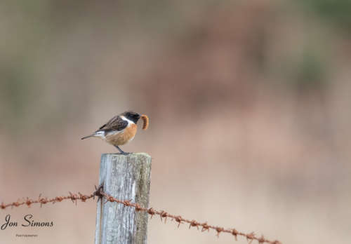 Stonechat with caterpillar