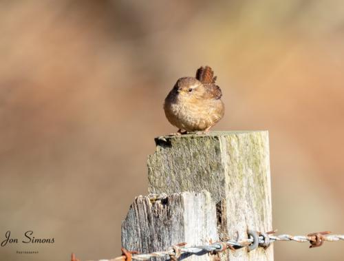 Wren on post